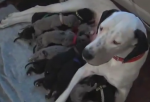 The Great Dane that delivered 19 puppies from Pennsylvania is named Snowy.