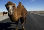 Camels in Israel caused 57 car accidents in 2014.