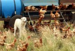 A Maremma guarding a coop of chickens.