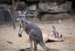 Kangaroosg