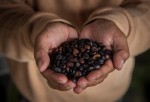 Civet Coffee In Indonesia : News Photo