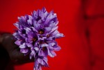 Saffron flowers produce the highly prized saffron herbs. Saffron cures depression, anxiety, excessive bleeding and epilepsy.