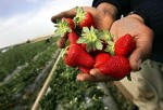 Palestinian Farmers Harvest Strawberry