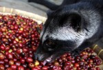 Civets feeding on coffee beans that are brewed to prepare the world's most expensive coffee called kopi luwak.