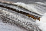 Salmon Harvests are Expected to Drop in Alaska