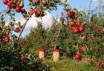 Better than old favorites performs  Disease-resistant apples