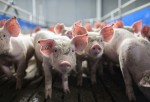 Genetically Engineered Pigs For Transplants And Food Gets FDA Approval