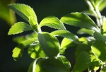Stevia leaves are 30 times sweeter than sugar. It contains Steviol glycocide compound that is said to be up to 300 times sweeter than sugar.